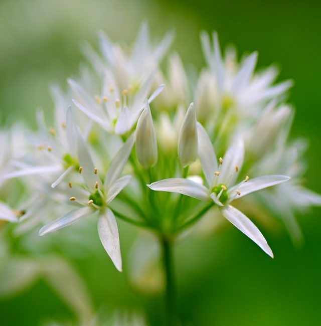 growing organic garlic