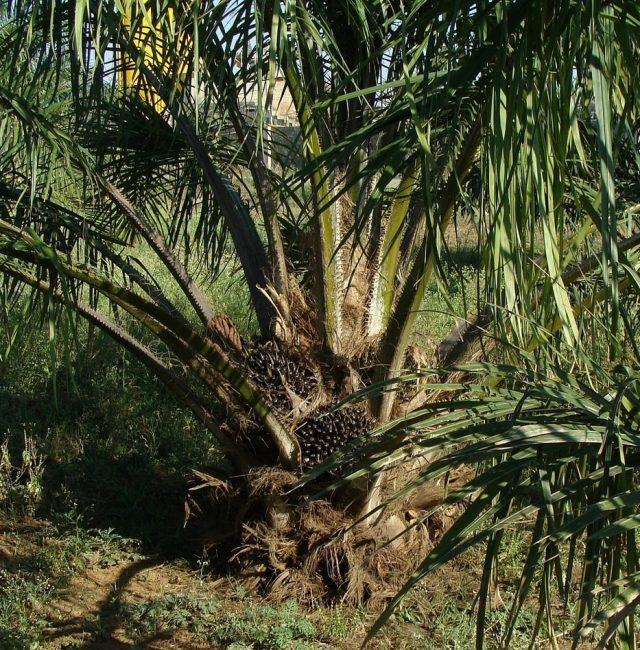 the oil palms