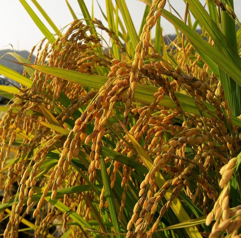 rice farming in the north